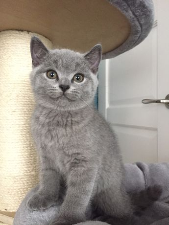Koty brytyjskie , kotki , kocurki