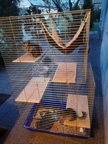Trzy szynszyle (samce) z klatką