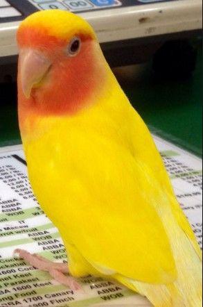 Желтые Розовощекие нерозлучники малыши ручные -Love Birds