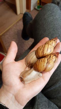 Ślimaki afrykańskie lissachatina iredalei zanzibar