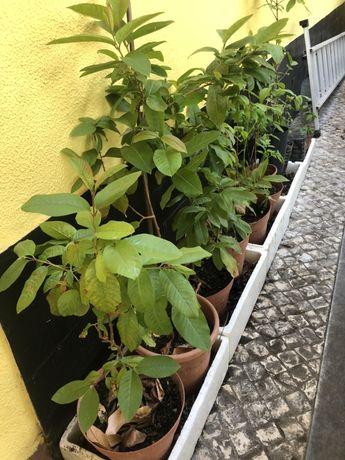 Plantas de goiabeiras varios tamanhos.