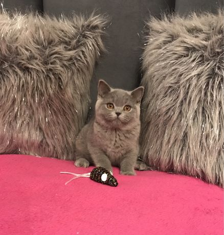 Kotki koty brytyjskie niebieskie - Rodowód