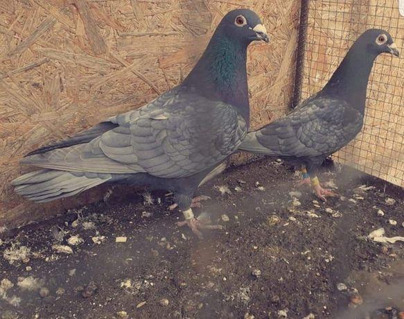 Gołębie pocztowe andaluzy para