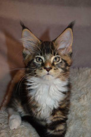Котята Мейн-кун. Питомник