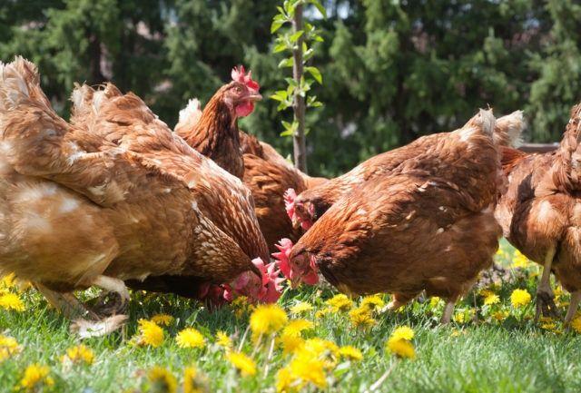 Kokoszki kury kolorowe ferma kaczki gęsi brojlery perliczki