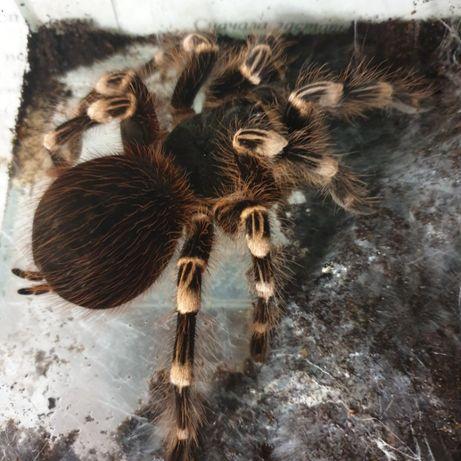 паук птицеед Nhandu coloratovillosus, самка