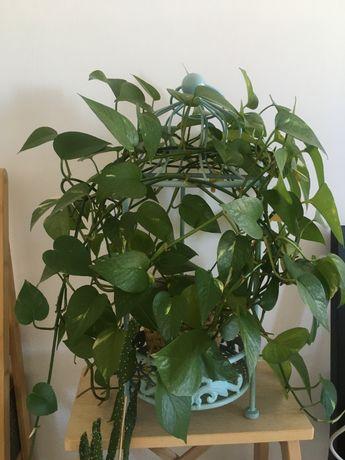 Planta natural + vaso + Floreira