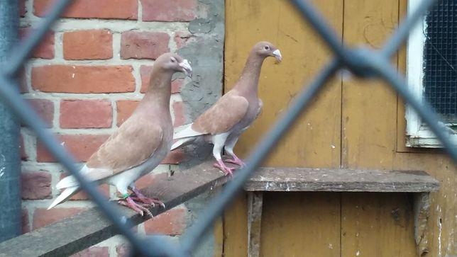 Gołębie sprzedam.