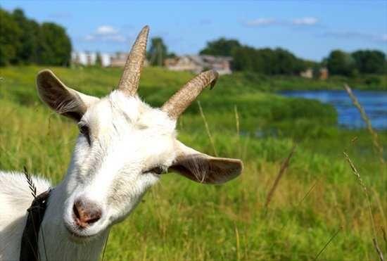 Продаж домашніх кіз і козенят 10 голів