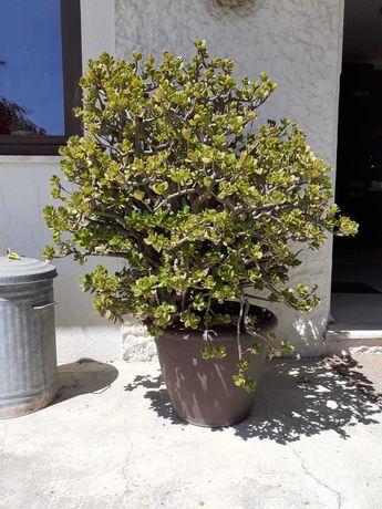 Planta-Jade envasada com cerca de 30 anos