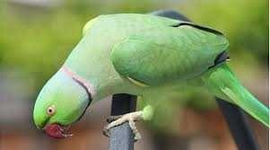 Troco ring Neck verdes bonitos