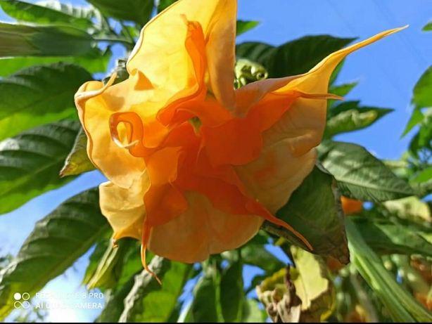 Бругмансия взрослое растение