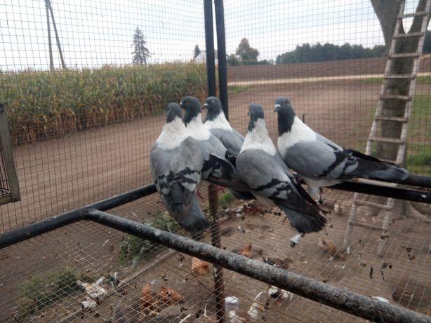 Sprzedam gołębie strasery niebieskie dwa pary i wolny samiec