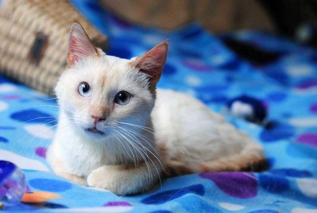 отдам кота, 7 месяцев, глаза нежно гооллубые