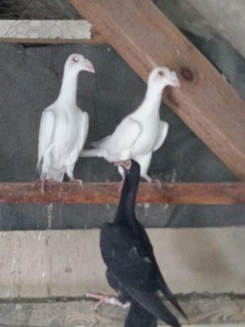 gołębie Kariery białe para z 20 r