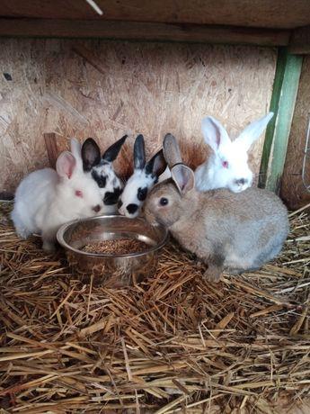 Sprzedam młode króliki mają 2 miesiące są samce i samice