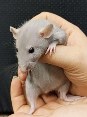 Szczurki Dumbo (samce i samiczki) MASSON