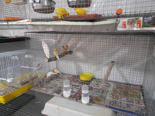 40 canarios amarelos