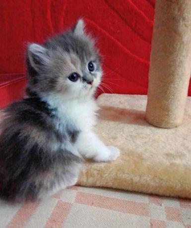 Продаю цветную кошечку.