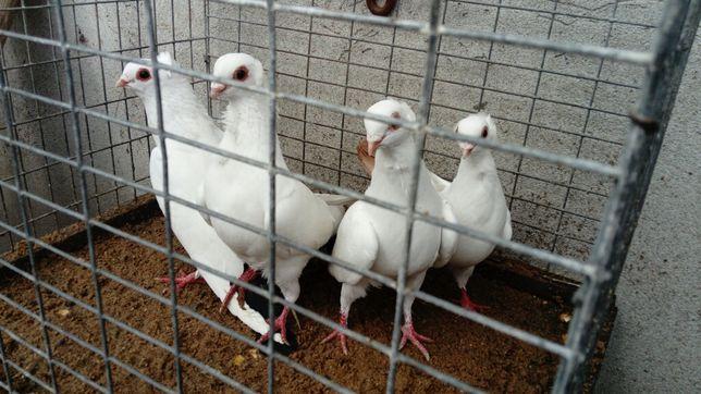 Gołębie Ogonki Sztołsy Dryjery Mewki barwnoogoniaste Wysyłka