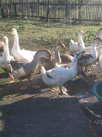 Продам молодих качок,гусей