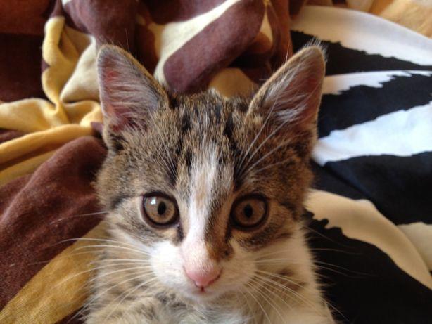 Oddam kocurka dwumiesięczny buro biały kot kotek