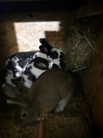 Sprzedam króliki samczyki