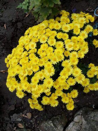 Хризантема мультифлора.