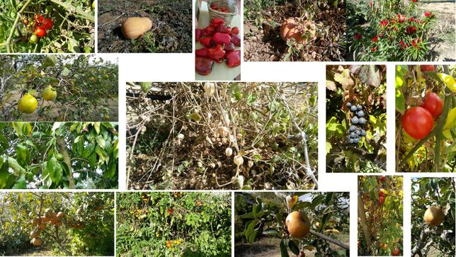 Fruta: marmelos, diospiros, peras, maçãs, pêra abacate, physalis, piri