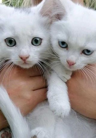 Белые котята мальчики ищут дом