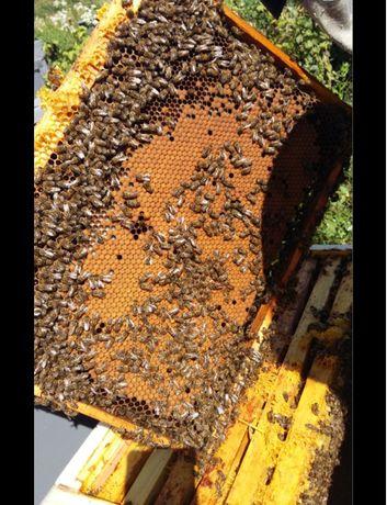 Продам бджолопакети 60 шт.