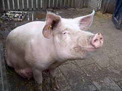 Свинина, свиня, Тернопіль, мясо, м'ясо свинини , домашня