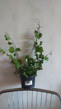 Плющ садовый вечнозелёный.