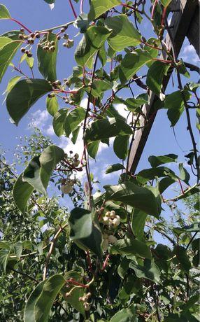 Plantas kiwi Arguta Geneva
