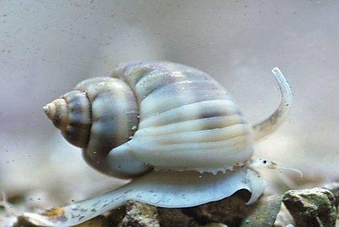 Akwarium Morskie Nassarius