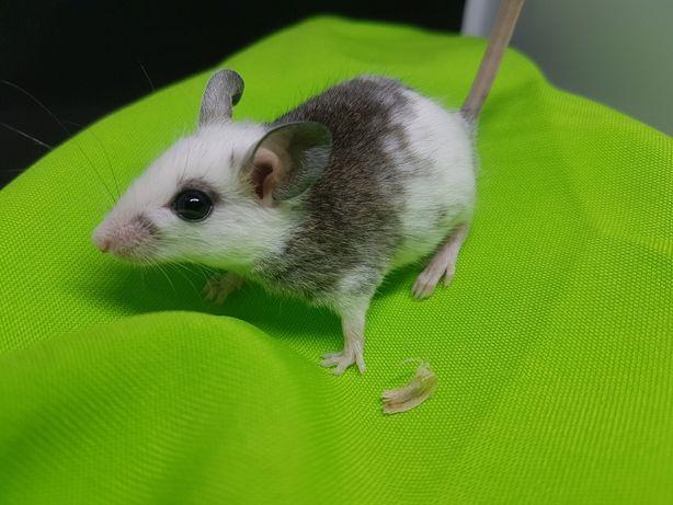 Myszorówka, nie mysz