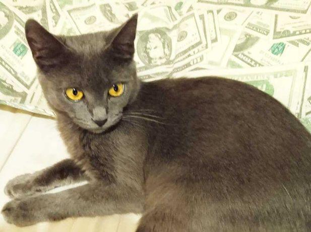 Русская голубая кошечка Киара, девочке 6 месяцев, ищет семью кошка