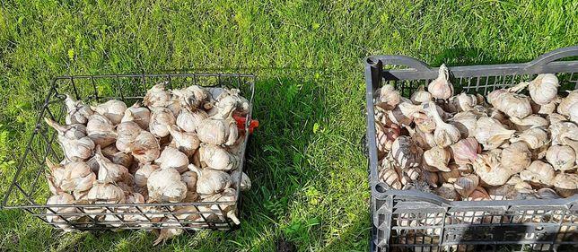 Główki czosnku, odmiana Harnaś, z ekologicznej uprawy,  cena za pół kg