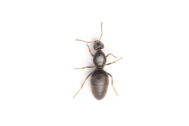 Lasius niger królowa mrówki / mrówka + jajeczka