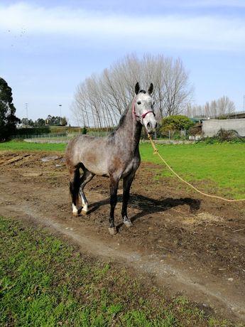 Cavalo cruzado com 4 anos, montado e engatado