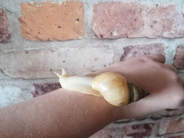 Slimak afrykański 7-8cm  achatina fulica rodatzi albino