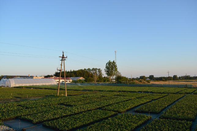 Borówka Amerykańska Bluecrop 3 letnie sadzonki z Certyfikatem CAC