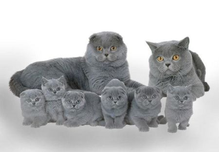 Британские вислоухие котята В хорошие руки