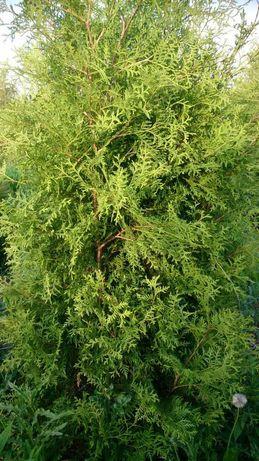 Tuje tuja brabant kopane z gruntu  120 cm-300 cm .Producent szkółka .