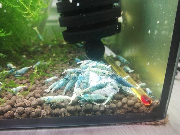 Krewetki caridina taiwan bee blue bolt
