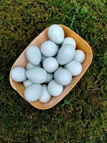 Jaja lęgowe przepiórka JAPOŃSKA CELADON