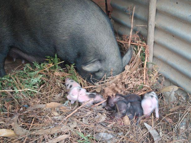 Vendo porquinhos vietnamitas