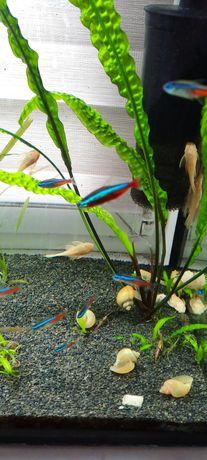 Rybki akwariowe neonki 16 sztuk