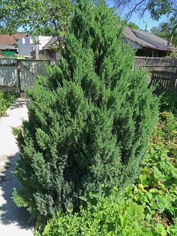 Продам туї дерева 2 митрові э різні розміри
