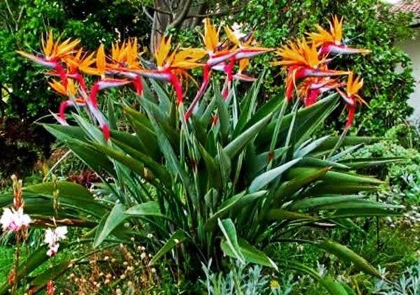 Estrelícia adulta ave do paraíso planta da Madeira dá várias flor ano